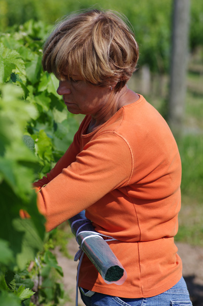 Summer works in the chateau La Fleur de Gay vineyard (Chantal Lebreton lifting vine)